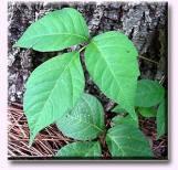 poison-ivy1